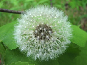 Dandelion_clock_on_leaves