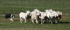 Border_Collie_sheepdog_trial