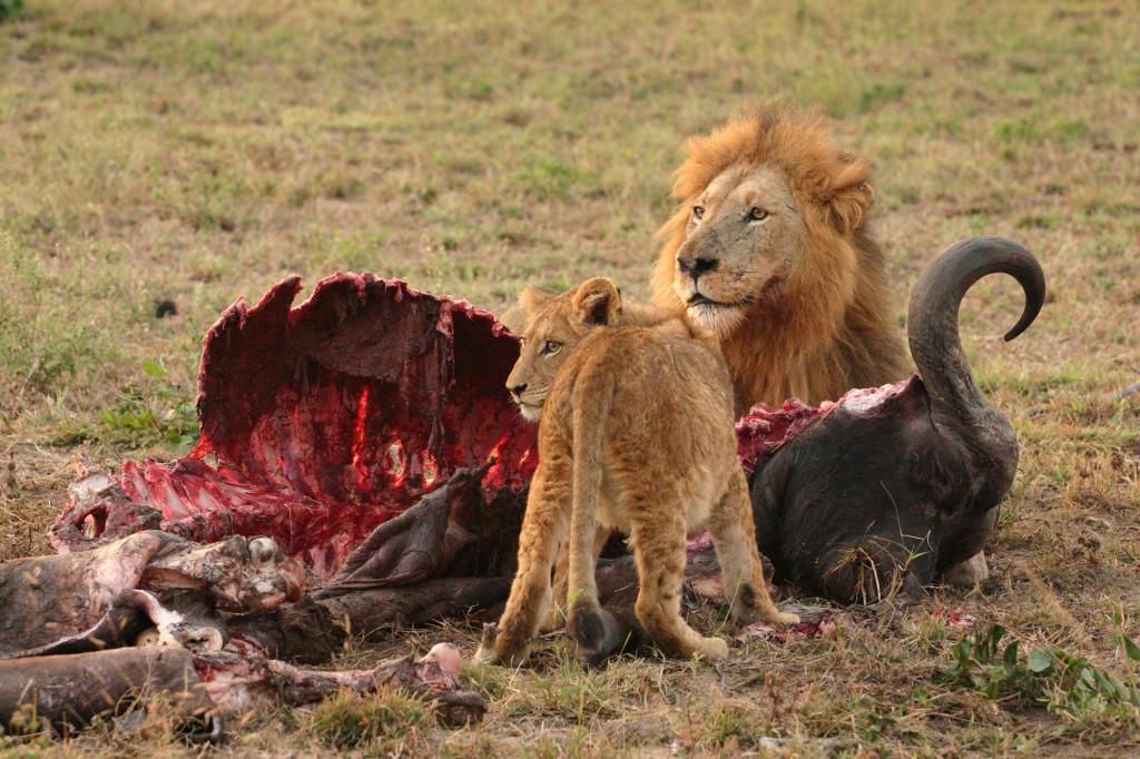 Male_Lion_and_Cub_Chitwa_South_Africa_Luca_Galuzzi_2004