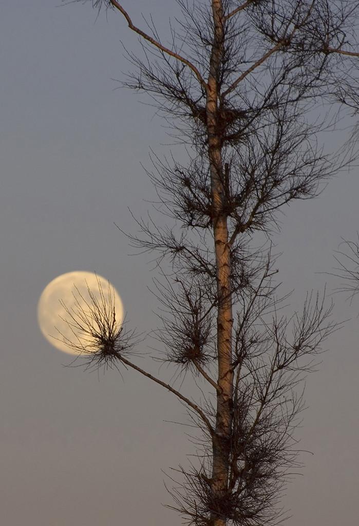 Winter_dandelion_(moon)_(3184560497)